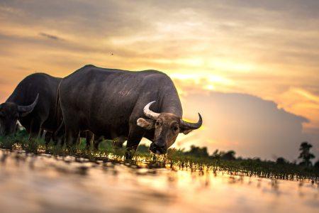 agriculture-animals-asia-460223